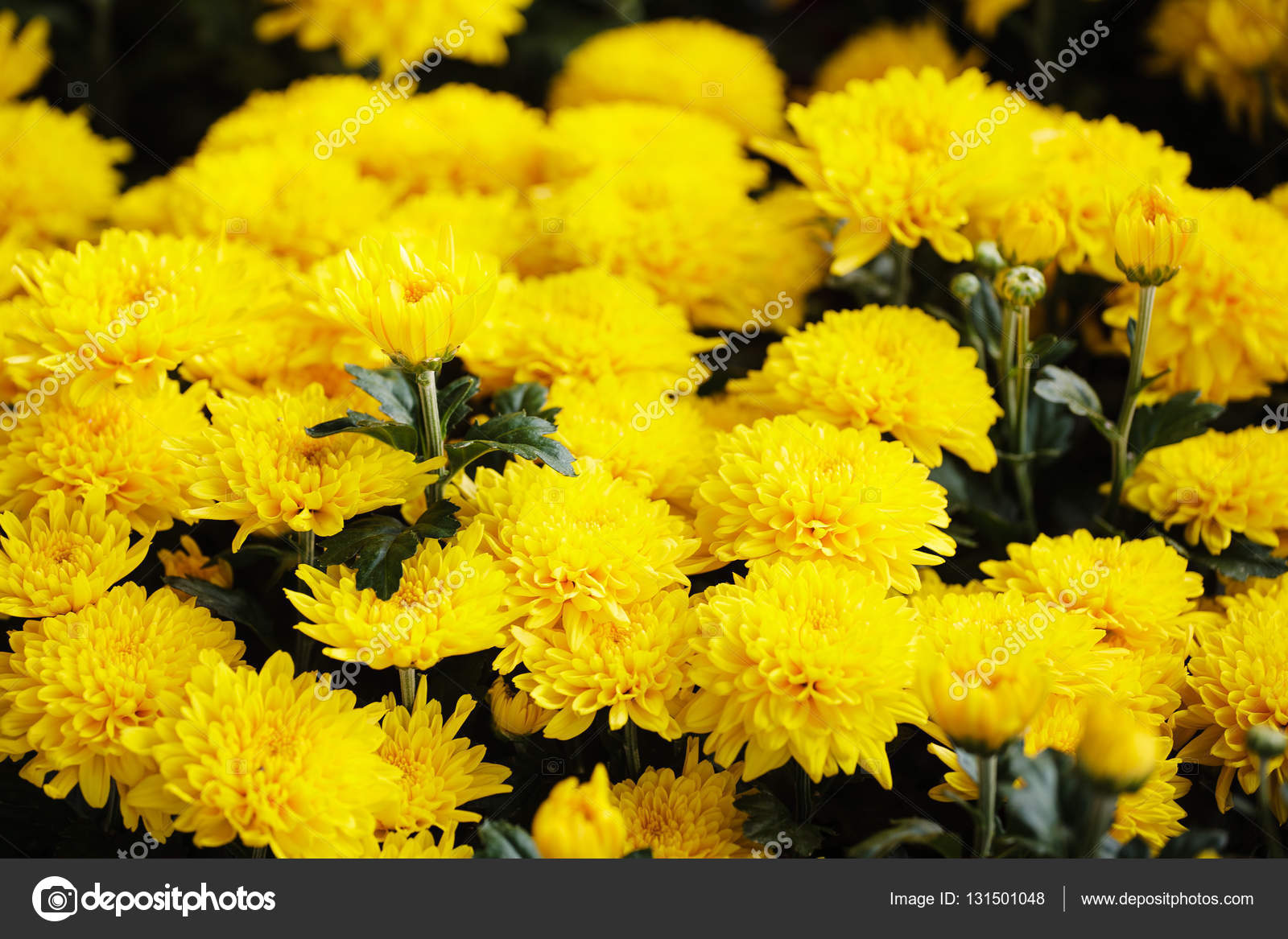 Binh Dong Floating Flower Market.Beautiful Yellow Daisy Flowers In Spring Ho Chi Minh City Binh