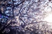 Na jaře Kvetoucí třešeň, bílé květy