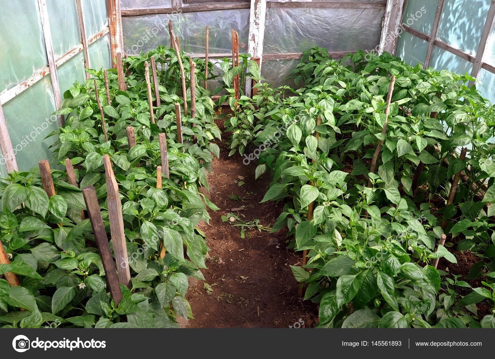 pimientos en invernadero doméstico — Foto de stock © struvictory ...