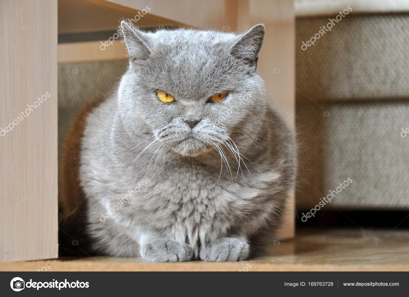 Gatto Arrabbiato Di Blue British Shorthair Foto Stock