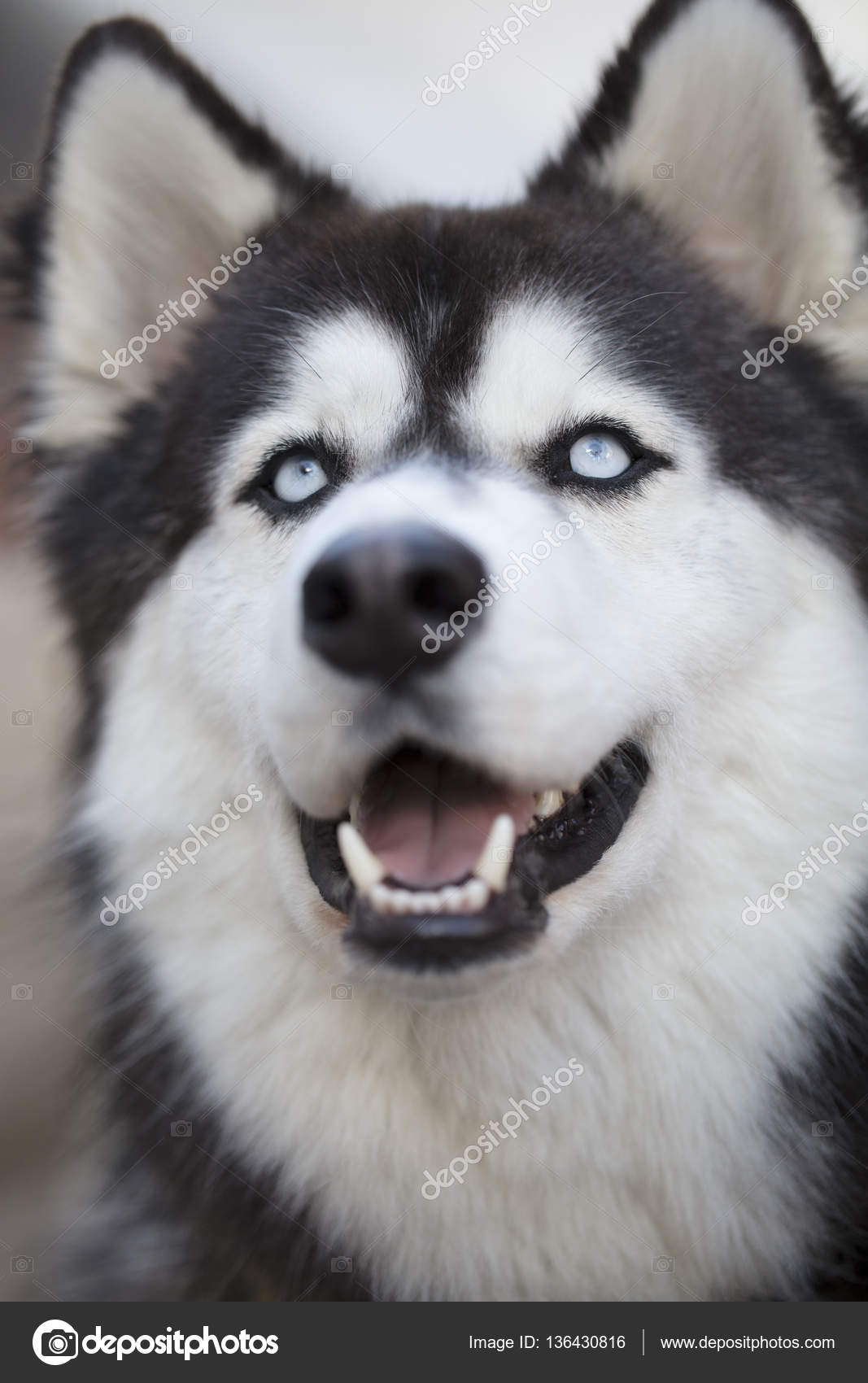 Siberian Husky Close Up Of Face Stock Photo C Almana4327 136430816