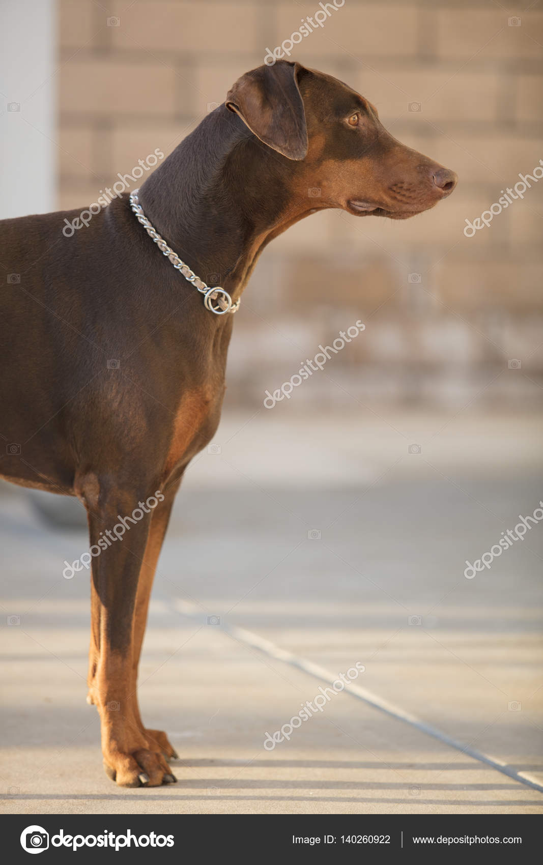 red doberman pinscher standing in a patio area stock photo
