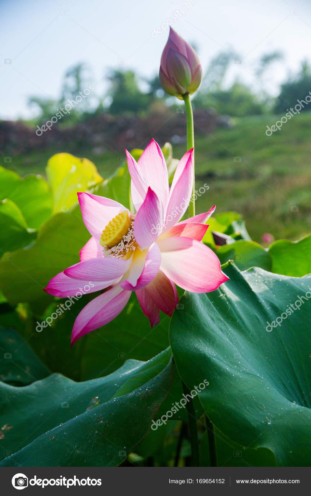 Beauty lotus flowers garden stock photo cristaltran 169654152 beauty lotus flowers garden stock photo izmirmasajfo