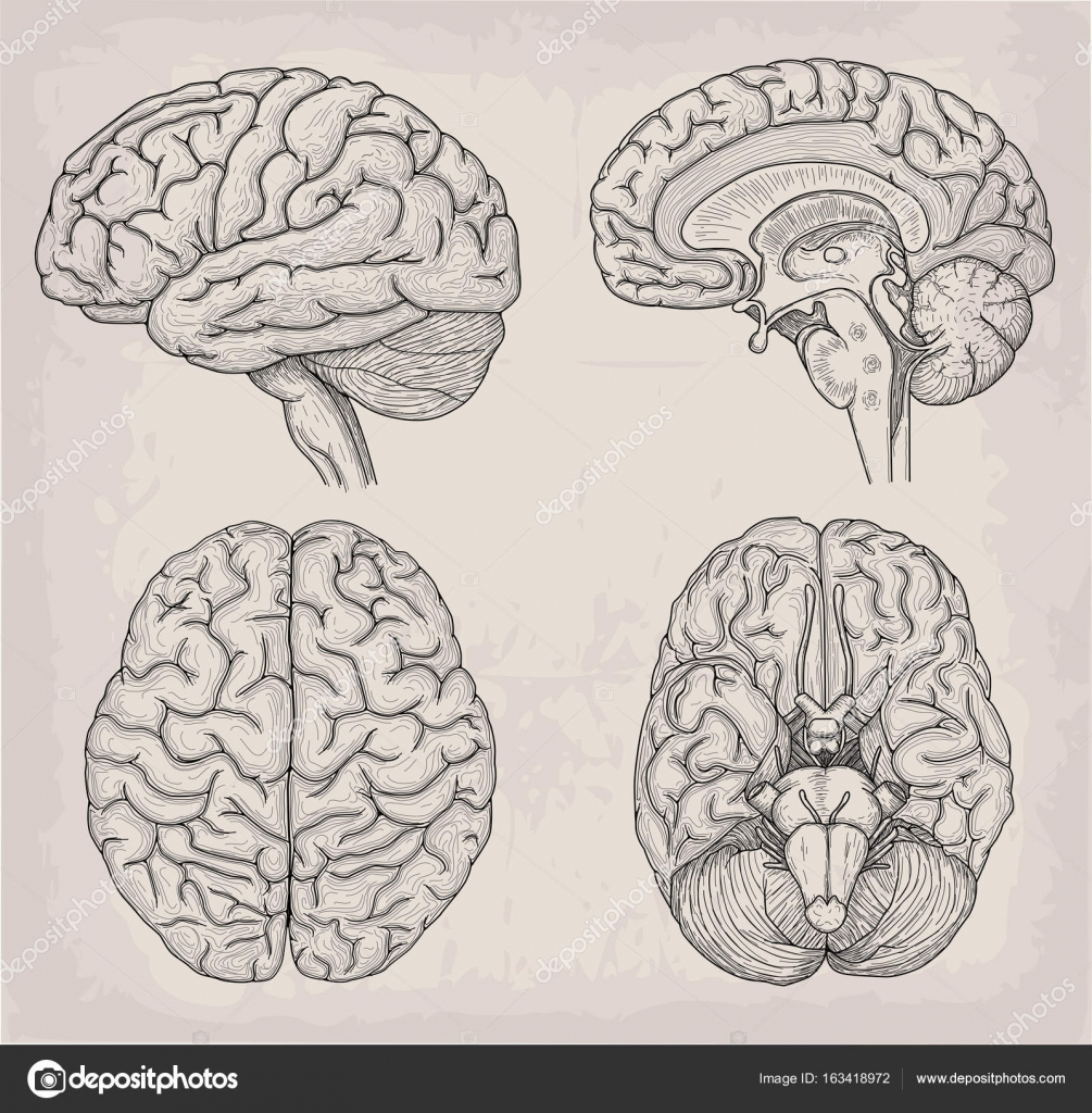 Ilustración humano anatómico de cerebro. Medicina, illustrati Vector ...