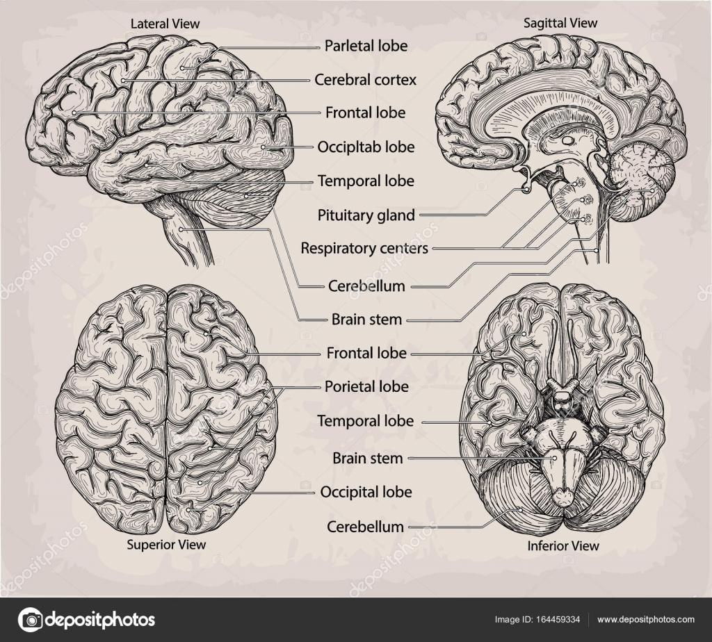 Anatomische Organ Gehirn. Medizin, Vector Illustration Poster. Ein ...