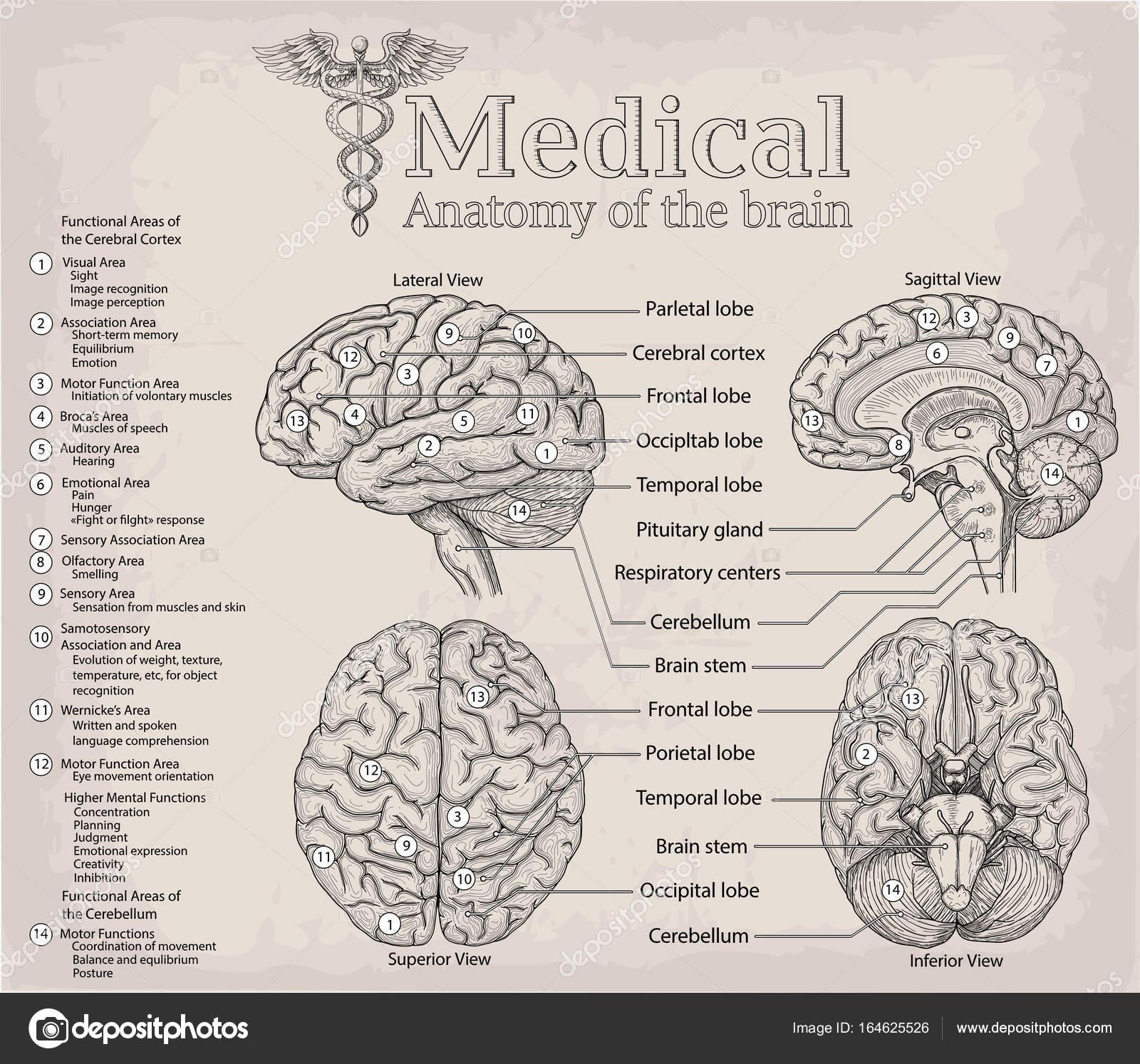 Médico anatomía del cerebro humano. Medicina, Vector ilustración po ...
