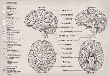 Anatomical diagram of human Brain. Medicine, Vector illustration