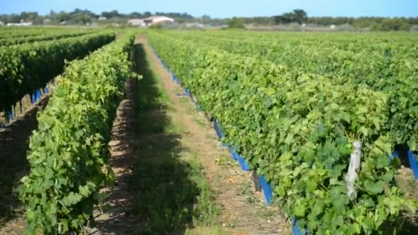 Vineyard, Ile de Re, France