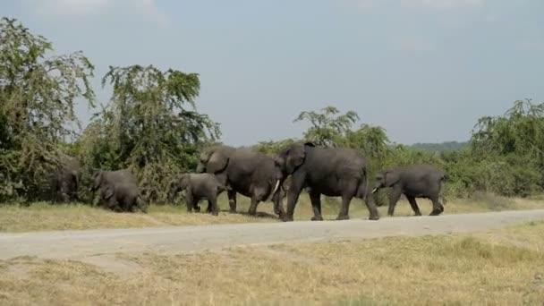 African elephants in Uganda