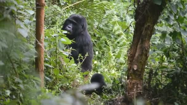 Mountain gorillas in the impenetrable Forest in Uganda