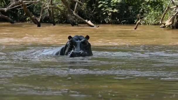 Nilpferd auf dem Fluss Ishasha