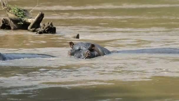 Hippos on Ishasha river
