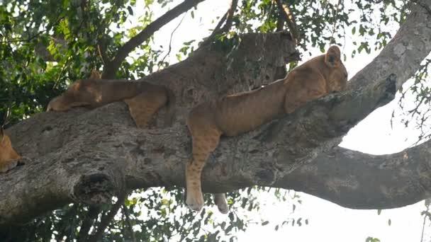 A wild climbing lions
