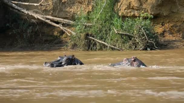 Hippos on Ishasha river in Uganda