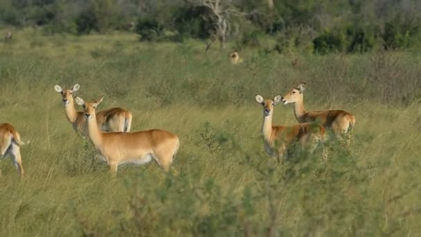 Uganda Kobs in Queen Elizabeth National Park