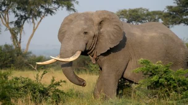 A wild African Elephant