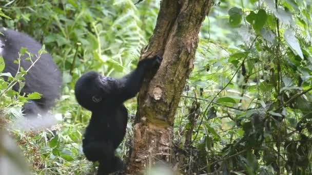 Mountain gorillas in the impenetrable Forest