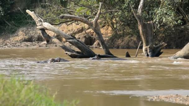 Flusspferde auf dem Fluss Ishasha in Uganda