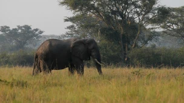 A vadon élő afrikai elefánt