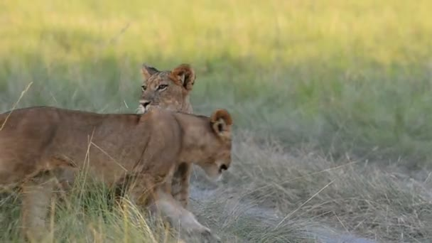 A wild lions in Uganda