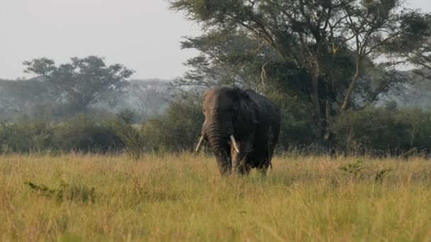 Divoký slon africký