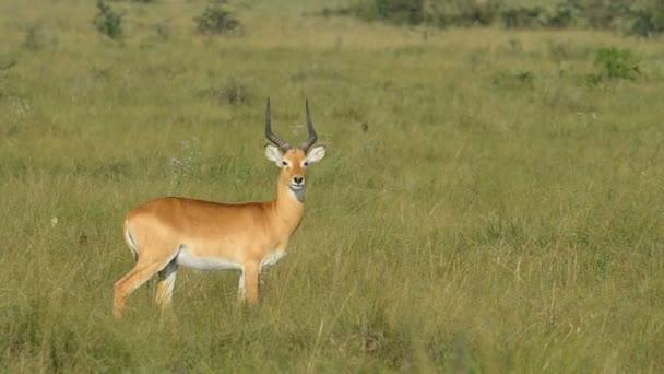 Uganda Kob in Queen Elizabeth National Park