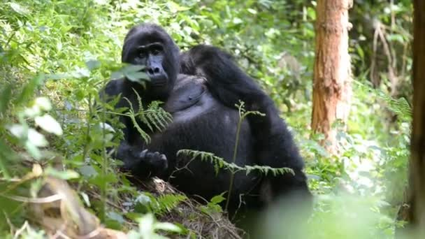 Mountain gorilla in the impenetrable Forest in Uganda