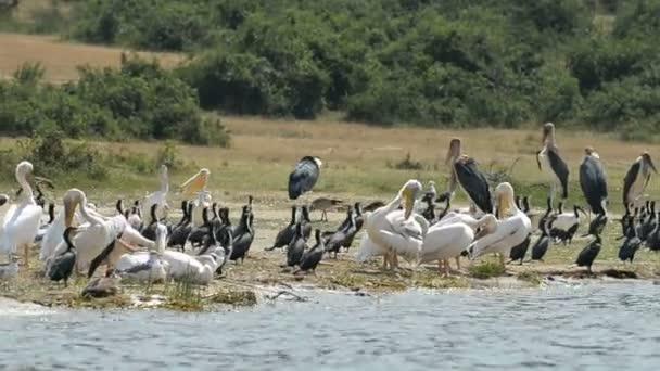 Birds on coast of Kazinga Chanel in Uganda