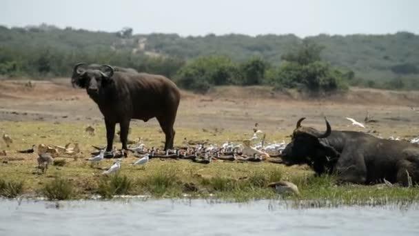 A group of wild African Buffalos
