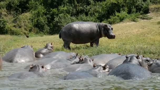 Nilpferde im Wasser des Kazinga-Kanals