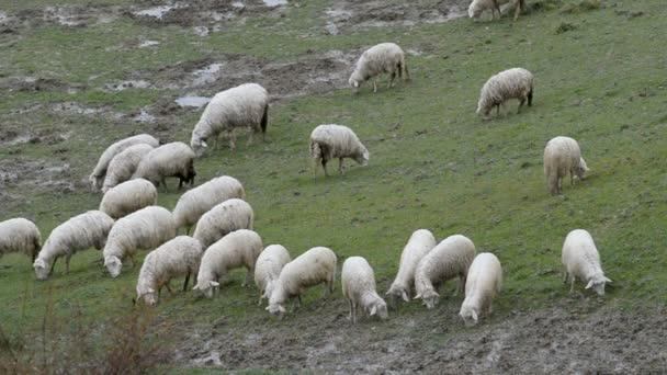 Maremma ovčák střežení stáda ovcí
