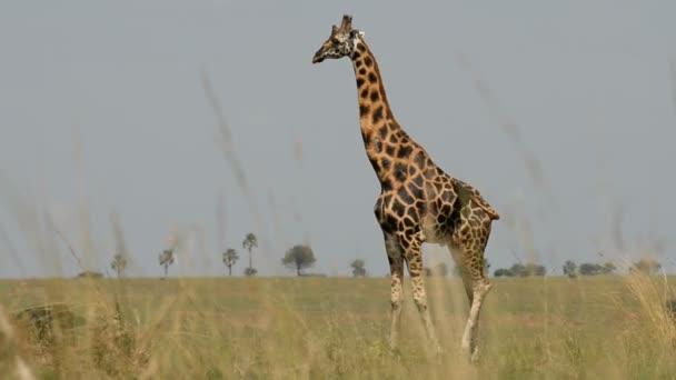 Rotschild zsiráf Murchinson-vízesés Nemzeti Park