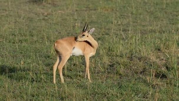 Uganda Kob in Murchison Falls National Park
