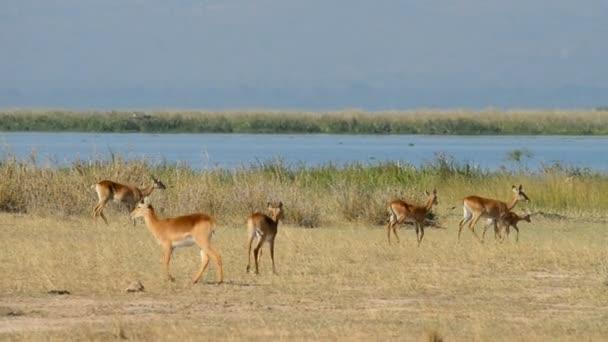 Uganda Kobs in Murchison Falls National Park