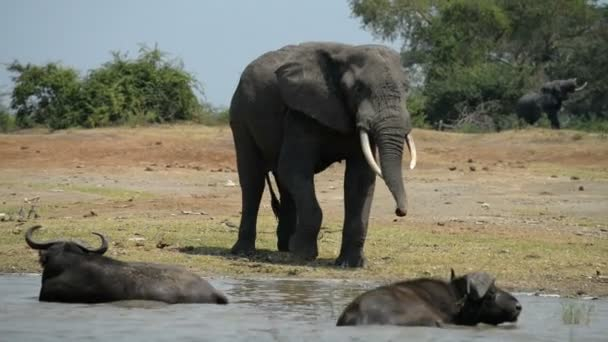 A group of wild African Buffalos and elephants