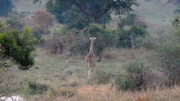 Žirafa Rothschildova v Ugandě