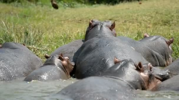 hippos in the water of Kazinga Channel