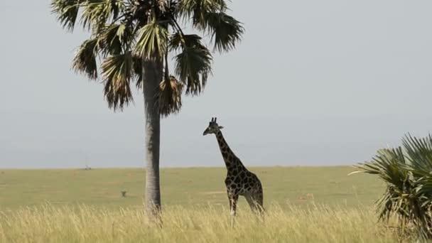 Žirafa Rothschildova v Murchinson Falls národní Park