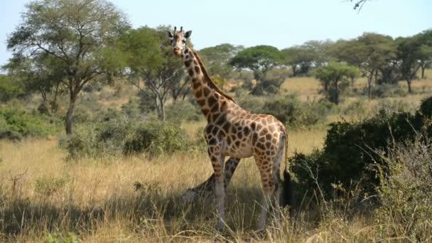 Giraffe di Rothschild a Murchinson Falls National Park