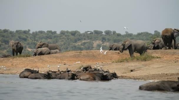 African elephants with buffalos in Uganda