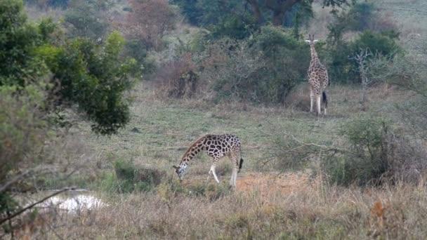 Giraffe di Rothschild in Uganda