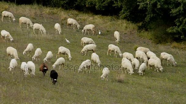 Schafherde in Italien
