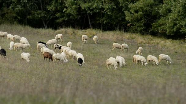Stádo ovcí v Itálii