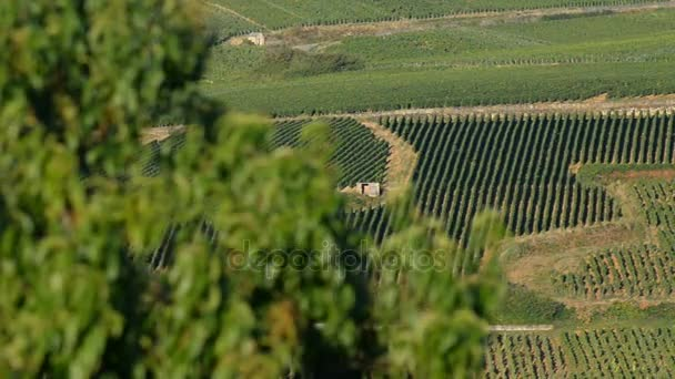 Šampaňským vinicemi nedaleko města Epernay ve Francii