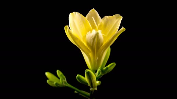 Timelapse of a yellow daylily flower blooming and fading on black background