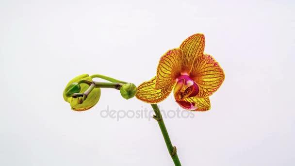 Orchideen lösen ihre Blüten auf weißem Hintergrund auf. Zeitraffer, 4k