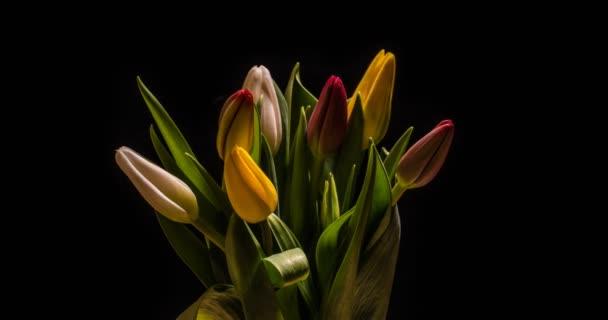 Timelapse vörös tulipán virág virágzik a fekete háttér