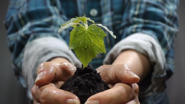 Hrst půdy s pěstování mladých rostlin. Koncept a symbol růstu, péče, udržitelný rozvoj, ochrana životního prostředí země, ekologie a zelené. ženské ruce
