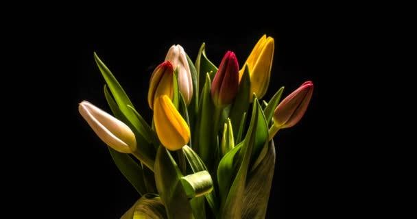Timelapse červený Tulipán kvetení na černém pozadí