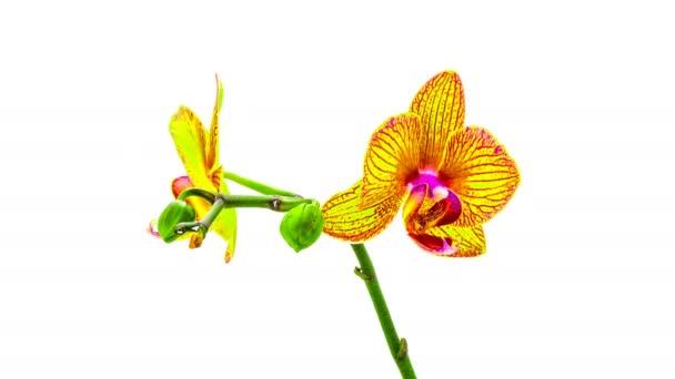 orchidej se rozpustí jejich květy na bílém pozadí. Časová prodleva, 4k